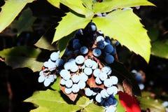 Bayas azules 1 imagenes de archivo