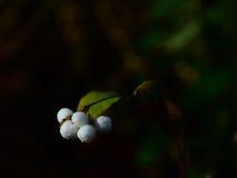 Bayas blancas del fantasma Foto de archivo libre de regalías
