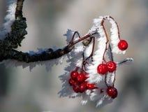 Bayas color de rosa salvajes cubiertas con nieve y carámbanos Imagen de archivo libre de regalías