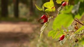 Bayas color de rosa salvajes en el bosque en verano almacen de metraje de vídeo