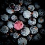 Bayas congeladas de la grosella negra Foto de archivo