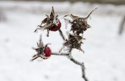 Bayas congeladas del briar Foto de archivo