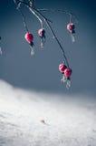 Bayas congeladas del escaramujo Foto de archivo libre de regalías