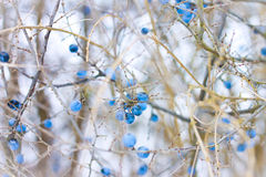 Bayas congeladas del invierno Foto de archivo