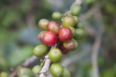 Bayas de café antes de la cosecha Fotografía de archivo