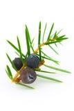Bayas de enebro (Juniperus communis). Imagen de archivo