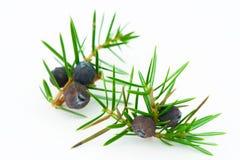 Bayas de enebro (Juniperus communis). Fotografía de archivo libre de regalías