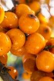 Bayas de espino cerval de mar, cierre encima de la macro, bayas anaranjadas Fotografía de archivo
