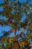 Bayas de espino cerval de mar en el arbusto Foto de archivo libre de regalías