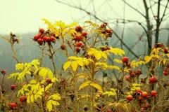 Bayas de la cereza de pájaro Imagen de archivo