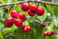 Bayas de la cereza dulce en un primer de la rama de árbol Foto de archivo