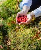 Bayas de la cosecha del hombre en el bosque Foto de archivo libre de regalías