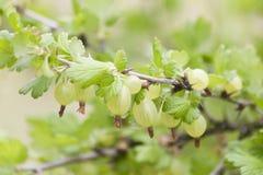 Bayas de la grosella espinosa en un arbusto Foco selectivo Foto de archivo