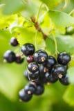 Bayas de la grosella negra en un arbusto Imagen de archivo