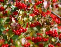 Bayas de la Navidad Imagen de archivo libre de regalías