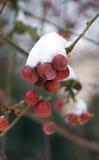 Bayas de la Navidad con el casquillo de la nieve Imagenes de archivo