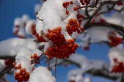 Bayas de la nieve Fotos de archivo