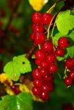 Bayas de la pasa roja en el arbusto imagen de archivo