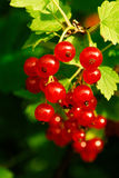 Bayas de la pasa roja (rubrum del Ribes) Imágenes de archivo libres de regalías