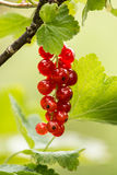 Bayas de la pasa roja (rubrum del Ribes) Foto de archivo libre de regalías