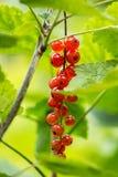 Bayas de la pasa roja (rubrum del Ribes) Fotos de archivo