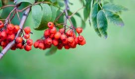 Bayas de la rama de la ceniza del serbal de la montaña Del otoño todavía de la cosecha escena de la vida Fotografía borrosa foco  Foto de archivo