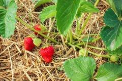 Bayas de las fresas, verdes y rojas Foto de archivo