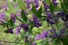 Bayas de las uvas en una rama de un arbusto Fotos de archivo libres de regalías