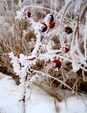 Bayas de pradera congeladas imagen de archivo
