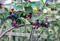 Bayas de Saskatoon que crecen en los árboles frutales Fotos de archivo libres de regalías