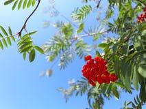Bayas de serbal del otoño ashberry. Aucuparia del Sorbus Imágenes de archivo libres de regalías