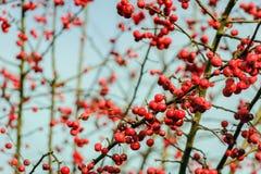 Bayas de serbal rojas brillantes en las ramitas deshojadas Imagenes de archivo