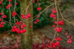 Bayas de serbal rojas brillantes que brillan intensamente en la oscuridad en las ramitas deshojadas Fotos de archivo