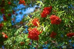 Bayas de serbal rojas hermosas en un día soleado del otoño Imagen de archivo libre de regalías