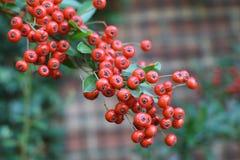 Bayas de serbal rojas maduras Foto de archivo libre de regalías