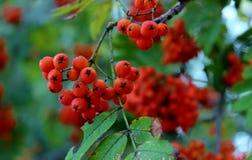 Bayas de serbal, serbal rojo, la cosecha de las bayas de serbal, bayas para los pájaros Imágenes de archivo libres de regalías