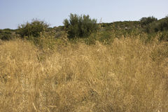 Bayas de trigo en el tiempo de verano - en la advertencia global Imagenes de archivo