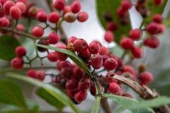 Bayas del árbol de pimienta brasileña, conocidas como granos de pimienta rosados fotos de archivo