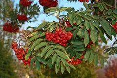 Bayas del árbol de serbal Foto de archivo libre de regalías