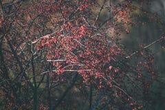 bayas del árbol de serbal contra el fondo oscuro - mirada de la película del vintage Fotografía de archivo libre de regalías