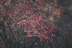 bayas del árbol de serbal contra el fondo oscuro - mirada de la película del vintage Fotos de archivo