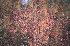 bayas del árbol de serbal contra el fondo oscuro - mirada de la película del vintage Fotos de archivo libres de regalías