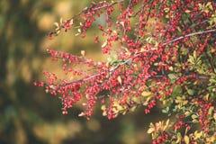 bayas del árbol de serbal contra el fondo oscuro - mirada de la película del vintage Imagen de archivo libre de regalías