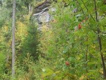 Bayas del bosque en Noruega Fotografía de archivo