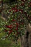 Bayas del espino en la rama Foto de archivo libre de regalías