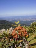 Bayas del highbush de la montaña Fotos de archivo