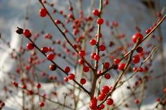 Bayas del invierno Imagen de archivo libre de regalías