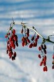 Bayas del invierno Imagen de archivo