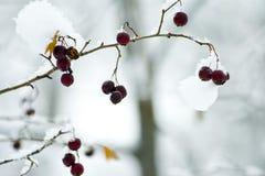 Bayas del invierno en un árbol en un bosque en invierno Imagen de archivo libre de regalías