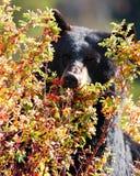 Bayas del oso Imágenes de archivo libres de regalías